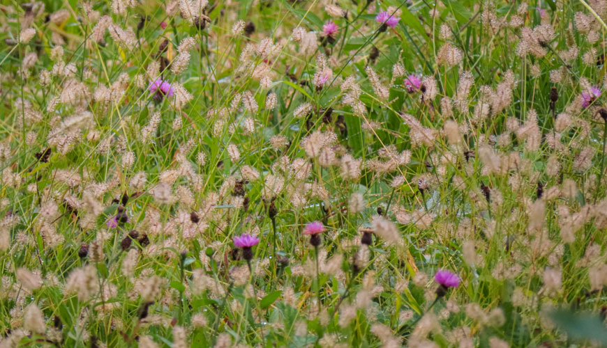 campo di fiori spontanei