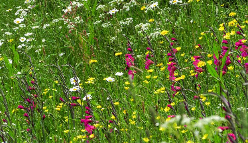 Upper Moat a Great Dixter crescono Leucanthemum, Ranunculus, Rumex, gladioli, diverse apiacee e molte altre piante