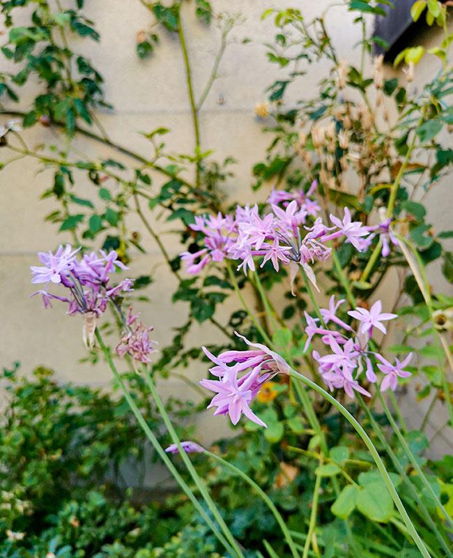 Tulbaghia violacea per un terrazzo fiorito durante l'estate