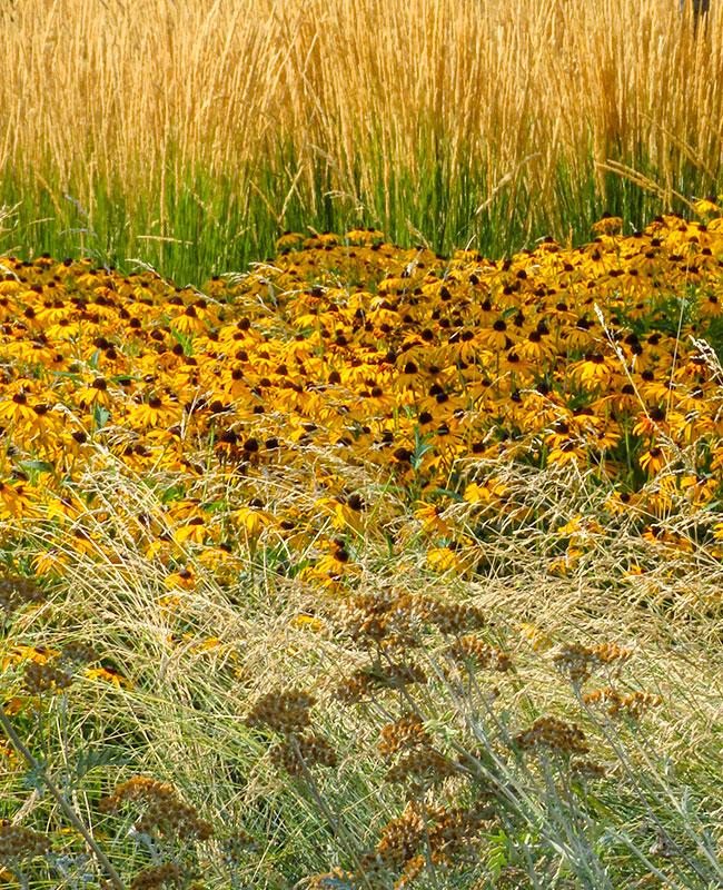 Rudbeckia per un giardino fiorito durante l'estate