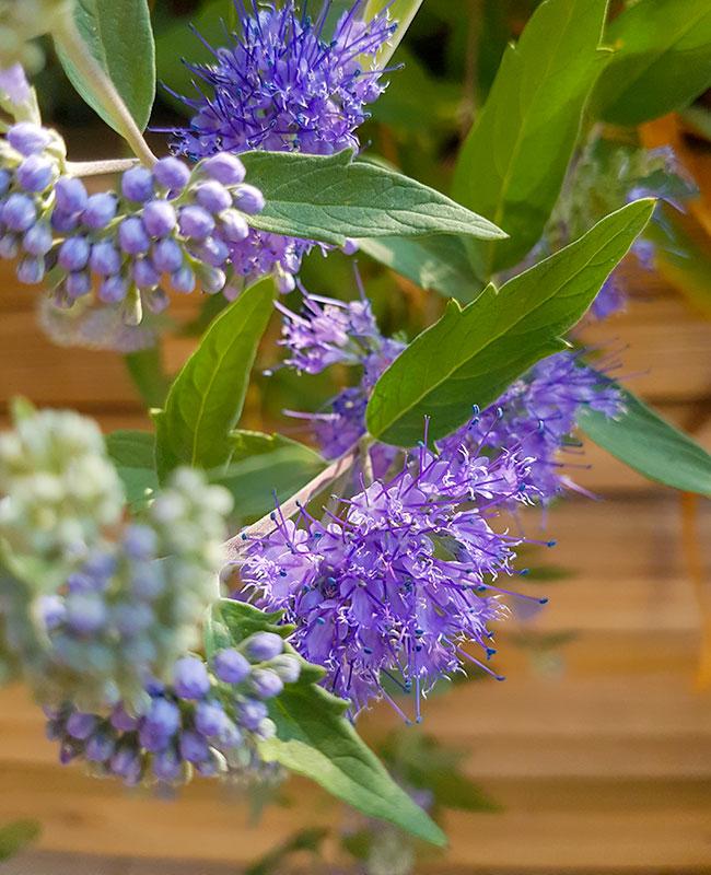 Caryopteris × clandonensis per un terrazzo fiorito durante l'estate