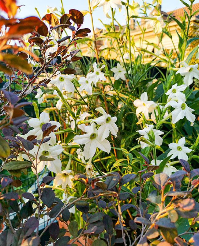 Nicotiana per un giardino fiorito durante l'estate