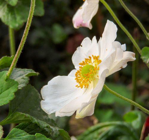 Anemone japonica in fiore fino a novembre