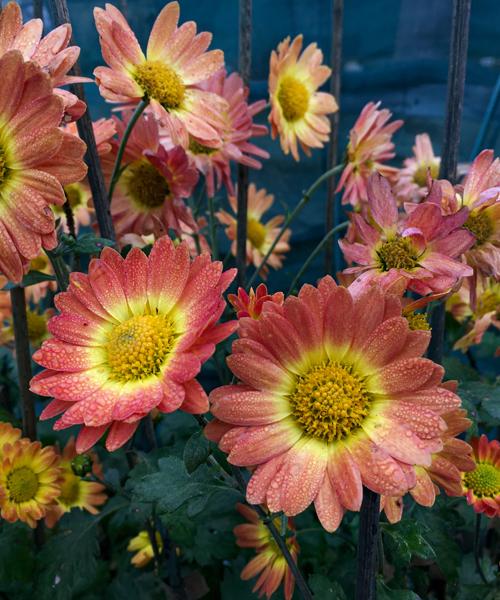 Chrysanthemum 'Dernier Soleil'