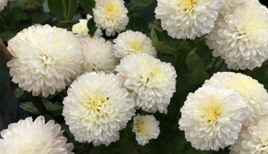 Chrysanthemum 'White Bouquet'