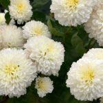 La rivincita dei Chrysanthemum