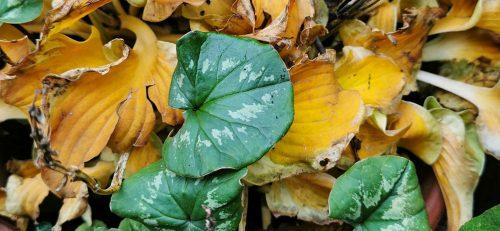Le foglie delle Hosta seccano mentre quelle del Cyclamen coum crescono