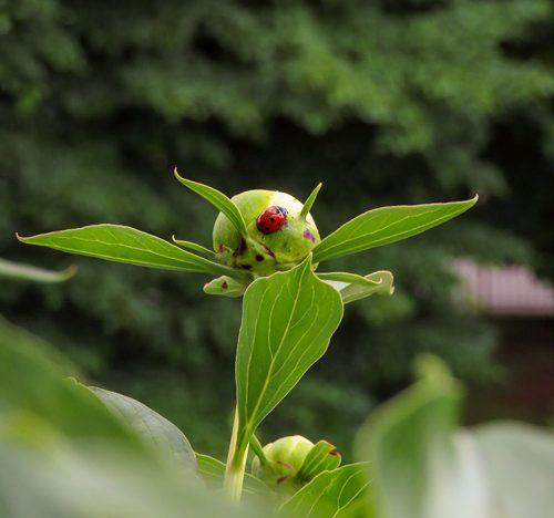 Bocciolo di peonia con una coccinella