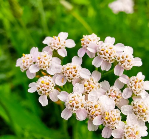 Un close up del fiore dell'Achillea millefolium