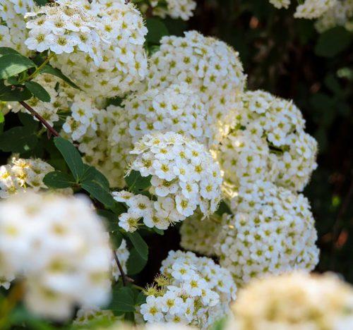 Spiraea x vanhouttei dall'incredibile fioritura che profuma di miele