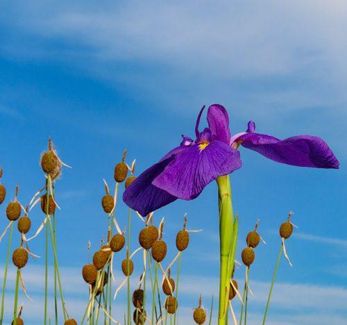 Iris ensata e sullo sfondo Typha minima