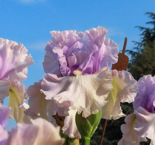 Iris 'Fog Bound' dal profumo agrumato