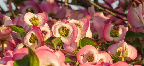 Dettaglio del fiore che sta per aprirsi del Cornus florida 'Rubra'
