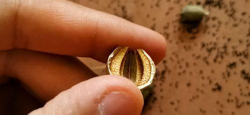 La geometria perfetta delle capsule di un Papaver somniferum