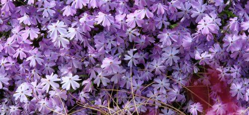 Phlox subulata, ottima tappezzante per giardini rocciosi soleggiati
