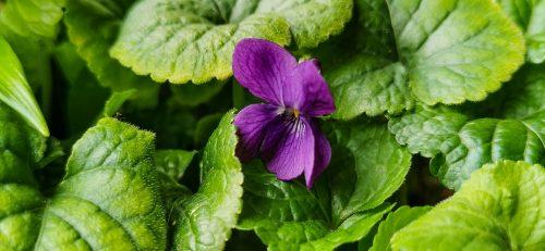 La comune violetta che fa da tappezzante in molte fioriere del mio balcone.
