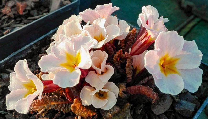 Primula vulgaris 'Drumcliff'