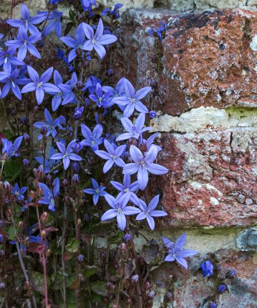 Campanula, Sissinghurst Castle Garden