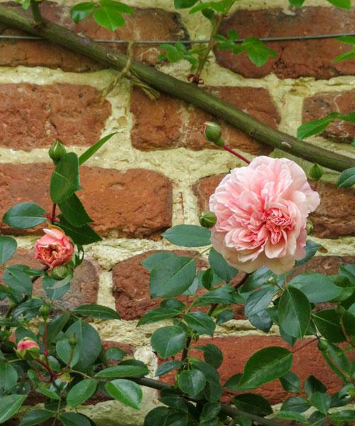 Sissinghurst Castle Garden rose