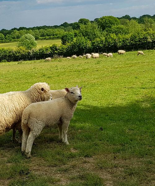 La campagna intorno a Sissinghurst Castle Garden con le pecore