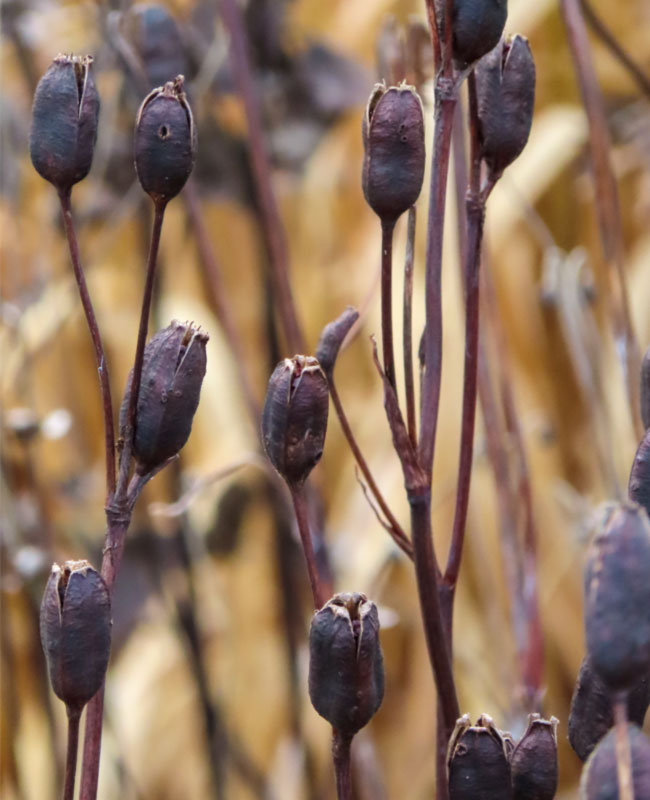Iris sibirica 'Caesar's Brother' Giardino Inverno Green FFink