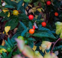 Le bacche di Solanum a dicembre