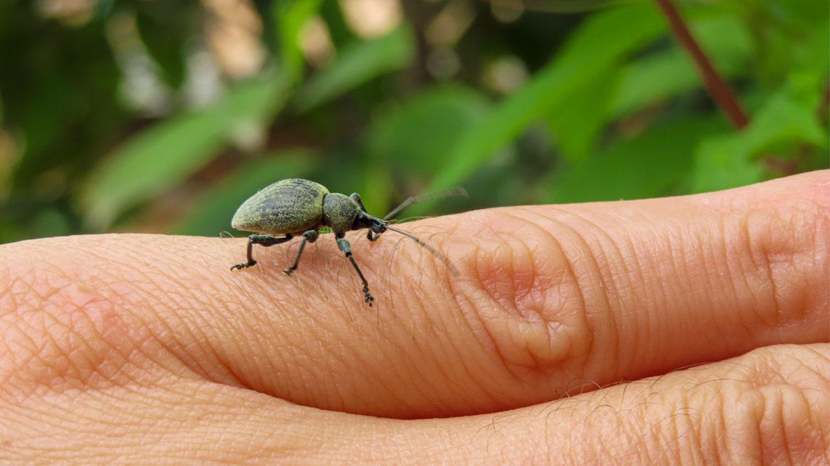 Otiorhynchus o oziorrinco esemplare adulto