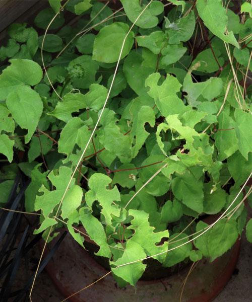 Otiorhynchus o oziorrinco danno alle foglie