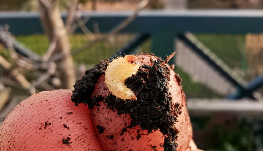 Otiorhynchus o oziorrinco nello stadio larvale