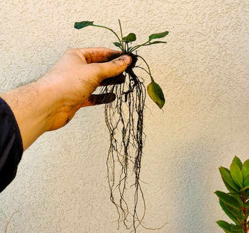 Le radici della Rudbeckia fulgida, l'autunno è tempo di dividere le perenni