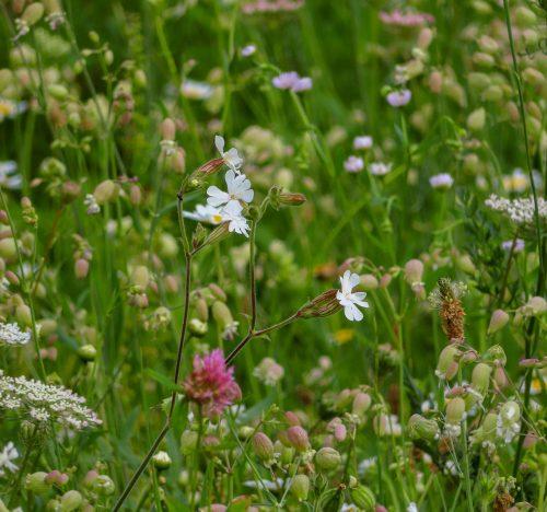 Sileve vulgari in un campo fiorito spontaneo