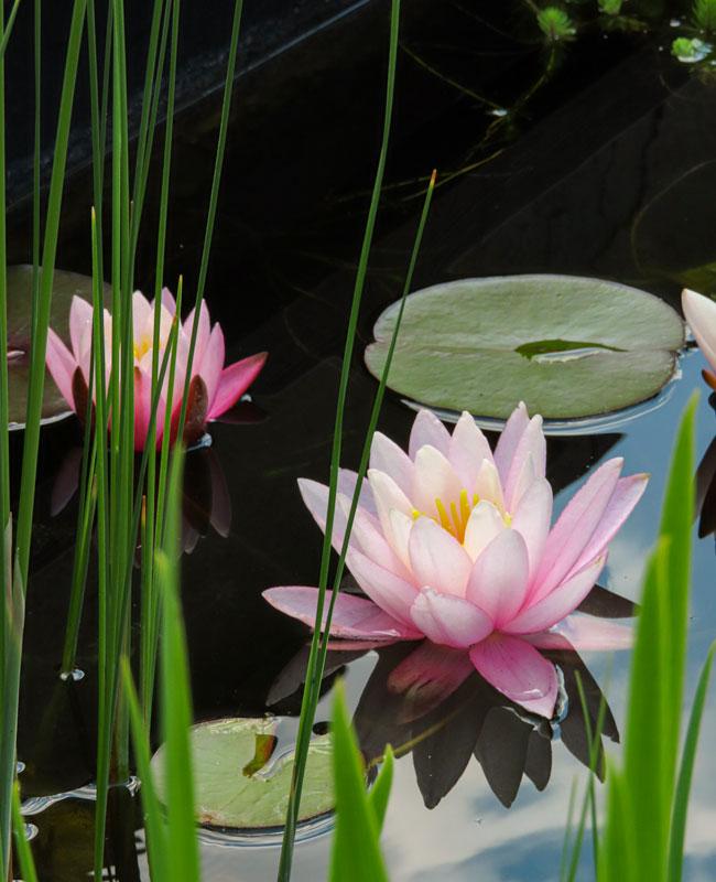Le ninfee sono piante galleggianti da avere assolutamente in uno specchio d'acqua.