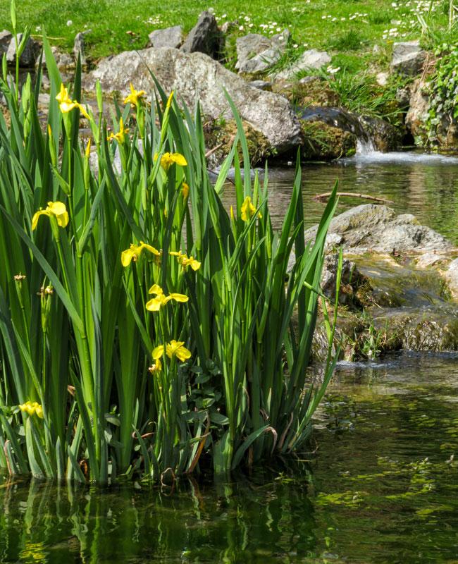 Iris pseudacorus nel Parco del Valentino a Torino.