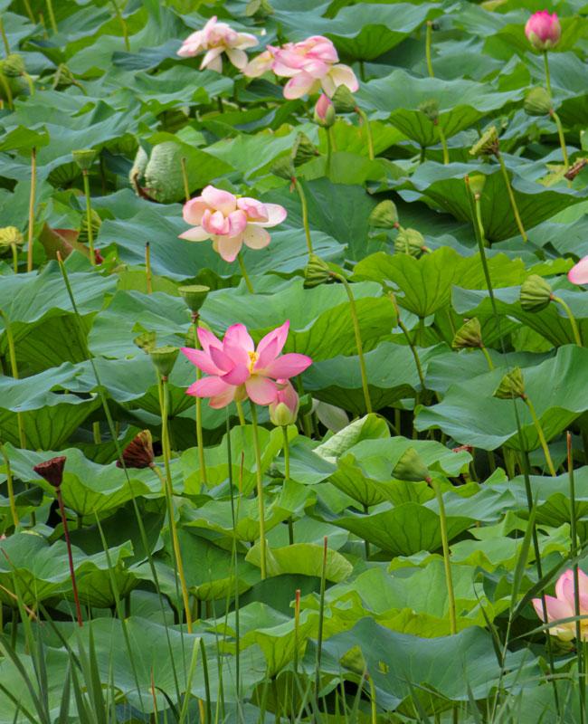 Fiore di loto nel Lago di comabbio.