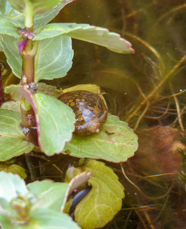 Una Lymnaea spp. che si ciba di piante in decomposizione senza mangiare le foglie sane.
