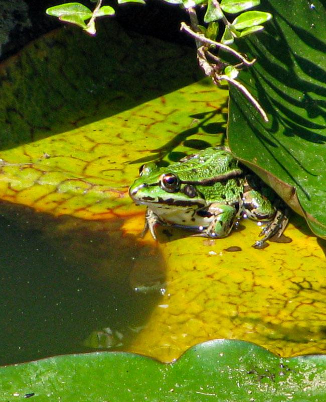 una rana all'interno di un laghetto.