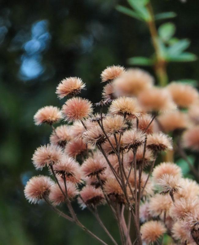 Vernonia noveboracensis Giardino Inverno Green FFink